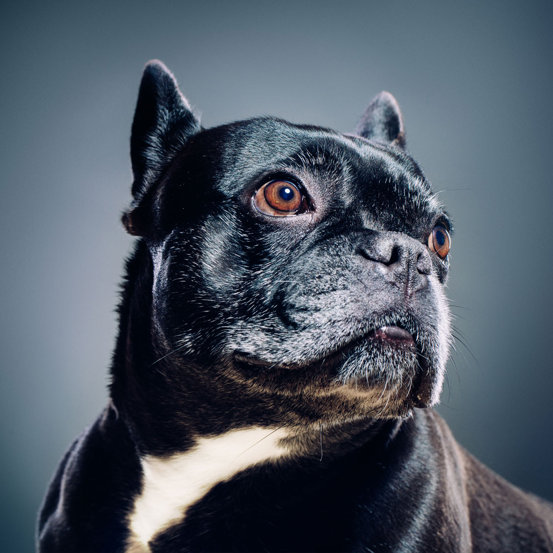 Photo of dog on blue background staring into distance.